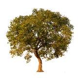 Δέντρο που απομονώνεται σε ένα άσπρο κλίμα Στοκ φωτογραφία με δικαίωμα ελεύθερης χρήσης