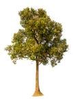 Δέντρο που απομονώνεται σε ένα άσπρο κλίμα Στοκ φωτογραφίες με δικαίωμα ελεύθερης χρήσης