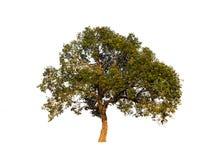 Δέντρο που απομονώνεται σε ένα άσπρο κλίμα Στοκ Εικόνες