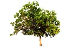 Δέντρο που απομονώνεται σε ένα άσπρο κλίμα Στοκ εικόνα με δικαίωμα ελεύθερης χρήσης