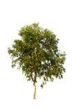 Δέντρο που απομονώνεται σε ένα άσπρο κλίμα Στοκ Εικόνα