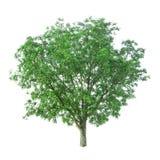 Δέντρο που απομονώνεται σε ένα άσπρο υπόβαθρο με το ψαλίδισμα της πορείας στοκ εικόνα με δικαίωμα ελεύθερης χρήσης