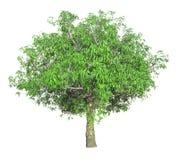 Δέντρο που απομονώνεται σε ένα άσπρο υπόβαθρο με το ψαλίδισμα της πορείας στοκ φωτογραφία