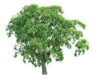 Δέντρο που απομονώνεται σε ένα άσπρο υπόβαθρο με το ψαλίδισμα της πορείας στοκ φωτογραφίες