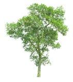Δέντρο που απομονώνεται σε ένα άσπρο υπόβαθρο με το ψαλίδισμα της πορείας στοκ φωτογραφίες με δικαίωμα ελεύθερης χρήσης