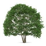 Δέντρο που απομονώνεται. Alnus Στοκ Φωτογραφία