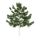 Δέντρο που απομονώνεται. Betula Στοκ Εικόνα