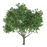 Δέντρο που απομονώνεται. Europaea Olea Στοκ φωτογραφίες με δικαίωμα ελεύθερης χρήσης