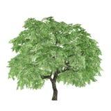 Δέντρο που απομονώνεται. Palmatum Acer Στοκ Εικόνα