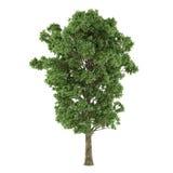 Δέντρο που απομονώνεται. Populus Χ canescens Στοκ Εικόνες