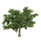Δέντρο που απομονώνεται. Quercus κορυφή Στοκ Φωτογραφία