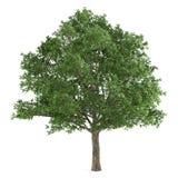Δέντρο που απομονώνεται. Quercus robur Στοκ εικόνα με δικαίωμα ελεύθερης χρήσης