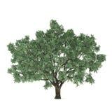 Δέντρο που απομονώνεται. Salix fragilis Στοκ φωτογραφίες με δικαίωμα ελεύθερης χρήσης