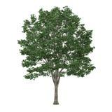 Δέντρο που απομονώνεται. Tilia Στοκ Φωτογραφία