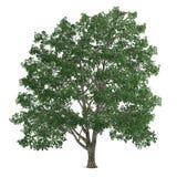 Δέντρο που απομονώνεται. Tilia Στοκ Εικόνες