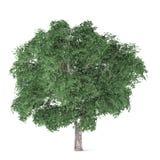 Δέντρο που απομονώνεται. Ulmus Στοκ Εικόνες