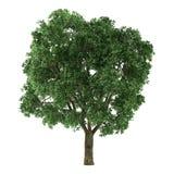 Δέντρο που απομονώνεται. Ulmus Στοκ φωτογραφία με δικαίωμα ελεύθερης χρήσης