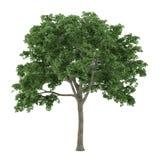Δέντρο που απομονώνεται. Ulmus Στοκ φωτογραφίες με δικαίωμα ελεύθερης χρήσης