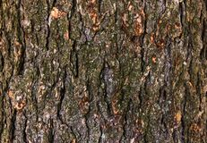 Δέντρο που βλασταίνεται δρύινο για τη σύσταση Στοκ Εικόνες