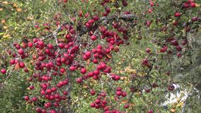 Δέντρο που καλύπτεται με τα κόκκινα μήλα απόθεμα βίντεο