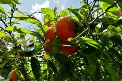 Δέντρο που καλύπτεται με τα ώριμα πορτοκάλια και τα άσπρα λουλούδια στοκ εικόνες