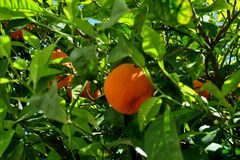 Δέντρο που καλύπτεται με τα ώριμα πορτοκάλια και τα άσπρα λουλούδια στοκ φωτογραφία με δικαίωμα ελεύθερης χρήσης