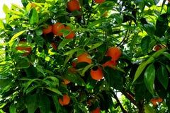 Δέντρο που καλύπτεται με τα ώριμα πορτοκάλια και τα άσπρα λουλούδια στοκ εικόνες με δικαίωμα ελεύθερης χρήσης
