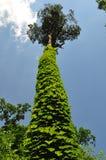 Δέντρο που καλύπτεται από τον κισσό Στοκ Εικόνα