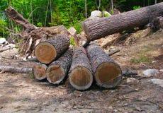 Δέντρο που κόβεται χώρια σε ένα δάσος σε έξι μακροχρόνια κούτσουρα Στοκ Φωτογραφίες