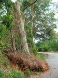 Δέντρο που ξεριζώνεται Στοκ Φωτογραφία