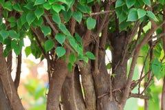 δέντρο προτύπων bougainvillea μπονσάι Στοκ φωτογραφίες με δικαίωμα ελεύθερης χρήσης