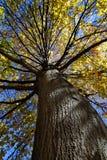 Δέντρο πτώσης με τα χρυσά φύλλα Στοκ Εικόνες