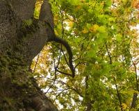 Δέντρο πτώσης φθινοπώρου στο δάσος με τους καφετιούς κλάδους και κίτρινα πορτοκαλιά πράσινα φύλλα στο πάρκο σε μια ηλιόλουστη εικ Στοκ φωτογραφία με δικαίωμα ελεύθερης χρήσης