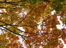 Δέντρο πτώσης φθινοπώρου στο δάσος με τους καφετιούς κλάδους και κίτρινα πορτοκαλιά πράσινα φύλλα στο πάρκο σε μια ηλιόλουστη εικ Στοκ φωτογραφίες με δικαίωμα ελεύθερης χρήσης
