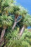 Δέντρο δράκων στοκ εικόνες