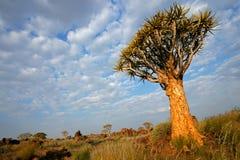 δέντρο ρίγου της Ναμίμπια τοπίων Στοκ Φωτογραφίες