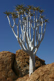 δέντρο ρίγου στοκ φωτογραφίες