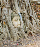 Δέντρο ρίζας γύρω από το κεφάλι της εικόνας Βούδας Στοκ Εικόνες