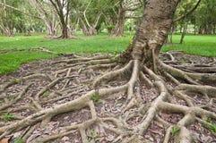 δέντρο ρίζας κήπων Στοκ Εικόνες