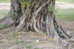 Δέντρο ρίζας στον κήπο φύσης Στοκ φωτογραφίες με δικαίωμα ελεύθερης χρήσης