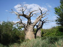 δέντρο ρίζας Στοκ Φωτογραφία