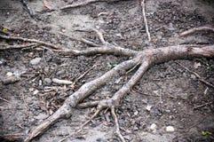 δέντρο ρίζας Στοκ εικόνες με δικαίωμα ελεύθερης χρήσης