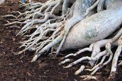 δέντρο ρίζας Στοκ Εικόνες