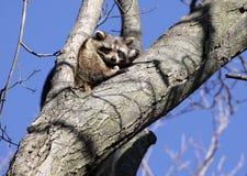 δέντρο ρακούν στοκ εικόνες με δικαίωμα ελεύθερης χρήσης