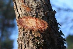 δέντρο ρητίνης αποκοπών Στοκ Φωτογραφία