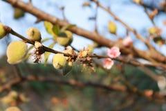 Δέντρο ροδακινιών με τα μικρά ροδάκινα και τα λουλούδια στοκ εικόνα