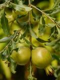δέντρο ροδιών Στοκ Εικόνα
