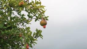 Δέντρο ροδιών Unripe πράσινο ρόδι σε έναν κλάδο στο γκρίζο υπόβαθρο ουρανού απόθεμα βίντεο
