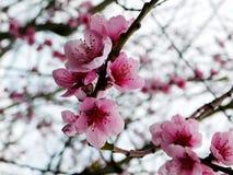 Δέντρο ροδακινιών στο άνθος Στοκ φωτογραφίες με δικαίωμα ελεύθερης χρήσης
