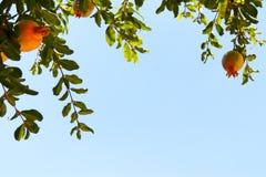 Δέντρο ροδιών εβραϊκό νέο υπόβαθρο διακοπών έτους Στοκ φωτογραφία με δικαίωμα ελεύθερης χρήσης